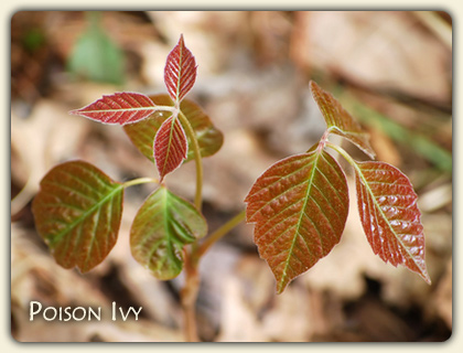 Poison Ivy Plant