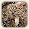 Edible Wild Mushrooms