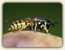 Wasp Sting Treatment