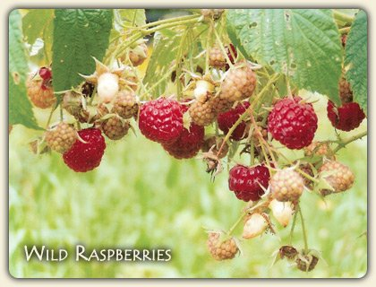 Edible Wild Berries